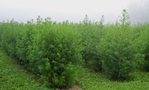 Sweet wormwood being grown on a farm. Pharmaceutical companies are still looking for new uses of the plant, including chemotherapy.